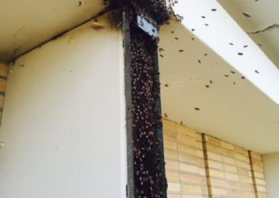 Bee removal from exterior 7th story of building