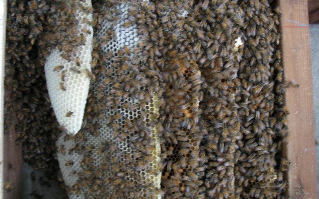 The Ecologically Responsible Way to Manage a Bee Invasion