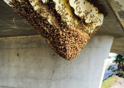 Safely removed bees and more than 150 pounds of honeycomb, from underneath a freeway overpass, about 60 feet high.