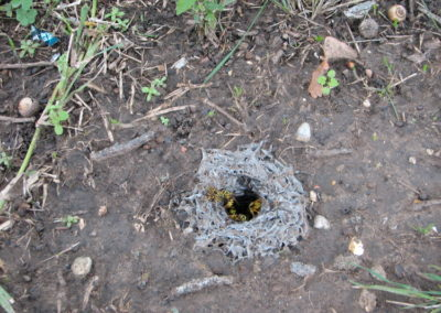 A yellow jacket nest hidden in the ground