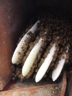 Bees inside a roof cavity