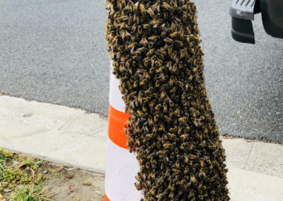 A swarm of bees on a traffic cone