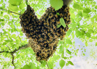 A swarm of bees on a tree